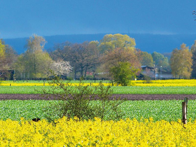 Rapsfeld bei Osterwald